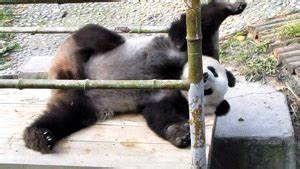 Panda Bear Laughing GIF - Find & Share on GIPHY