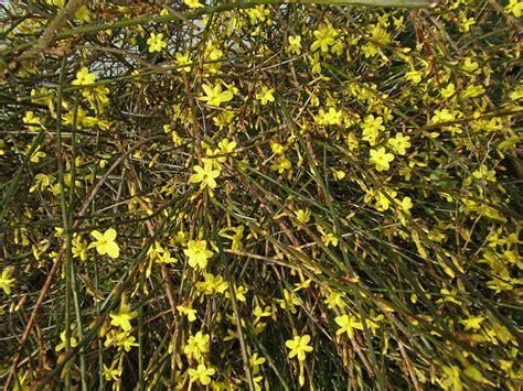 yellow flowering bushes garden flowers bright yellow flowers on bare stems the winter jasmine lisa cox garden