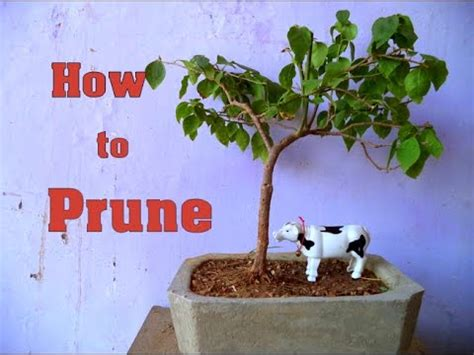 How To Prune Bougainvillea Bonsai  Winter Care & Tips