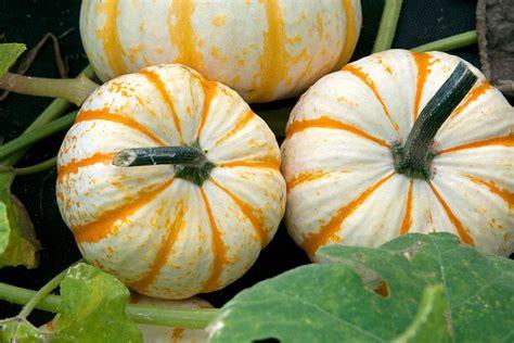 Grow Pumpkins With Children  Rhs Gardening