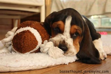 cute dogs cute basset hound dog