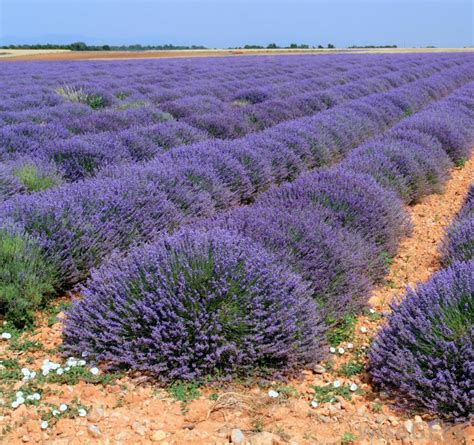 growing lavender how do i grow lavender with pictures