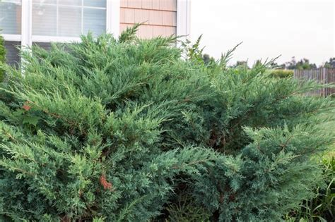 how to trim bushes in the how to trim juniper shrubs with pictures ehow