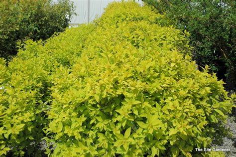gold leaf spirea spirea x goldmound the site gardener