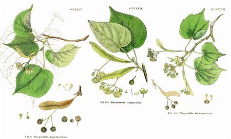 family tiliaceae