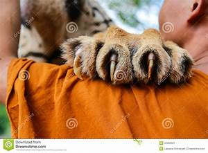 Tiger Claw stock image. Image of monks, tiger, cloth ...