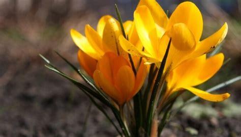 Pirmie pavasara ziedi - trausls skaistums - DELFI