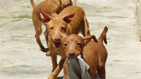andalusian hound dog puppies face info temperament
