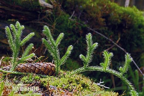 Lycopodium clavatum Pictures, Stag's-horn clubmoss, Running clubmoss, Ground pine Images, Nature ...