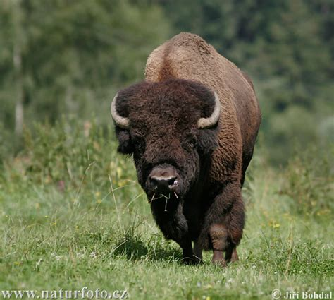 american bison pictures american bison images naturephoto