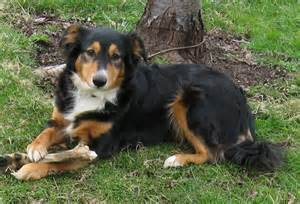 Low Shed Dog Breeds by English Shepherd Breed Guide Learn About The English