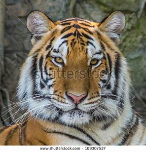 Tiger portrait Stock Photos, Images, & Pictures | Shutterstock