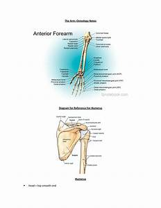 Aant 311 Osteology  Arm Notes - Aant 311 - Ualbany