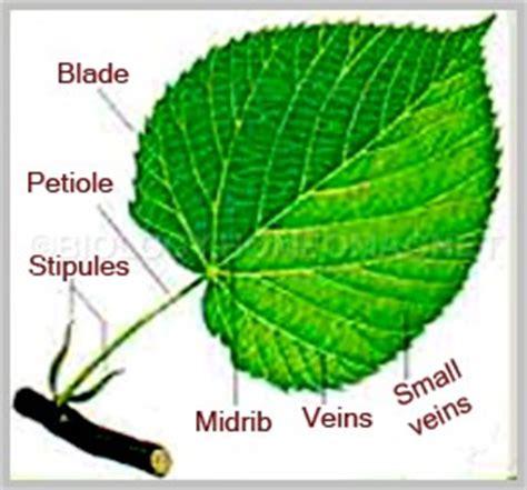 Leaf Part Diagram by Anatomy Of Leaf Biology For Everybody