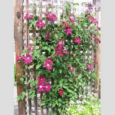 Plantfiles Pictures Clematis, Late Largeflowered