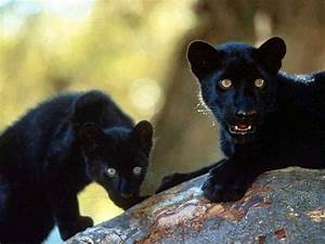 baby panthers   Panthers   Pinterest