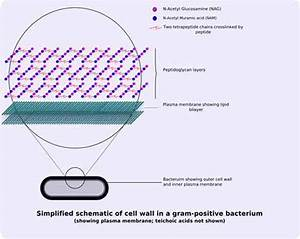 Bacterial Cell Wall Structure  Gram