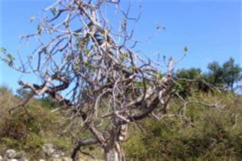 olivenbaum vertrocknet 187 so retten sie ihr b 228 umchen