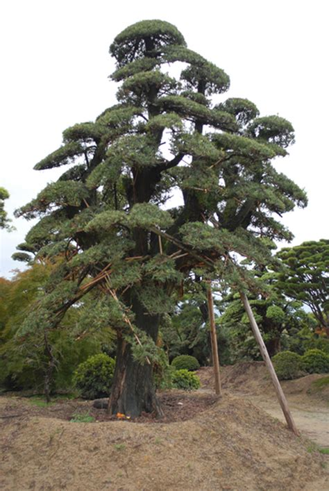 niwaki  trees   japanese nursery