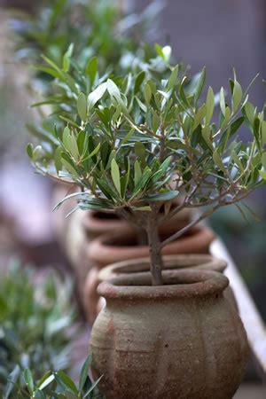 olivenbaum ueberwintern anleitung und pflege fehler