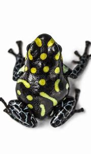 Frog top view isolated stock image. Image of animal ...