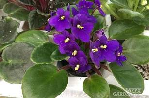 are violets poisonous to cats pet friendly house plants 15 indoor plants that are safe