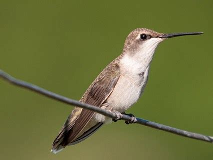 anna s hummingbird identification all about birds
