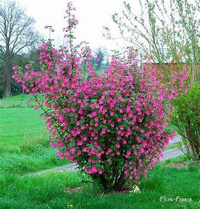 Petit Arbuste Fleuri : plantes oasis groseillier fleurs ribes sanguineum ~ Premium-room.com Idées de Décoration