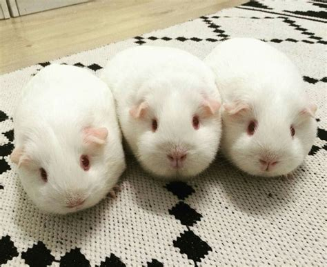 17 Best Ideas About Cute Guinea Pigs On Pinterest