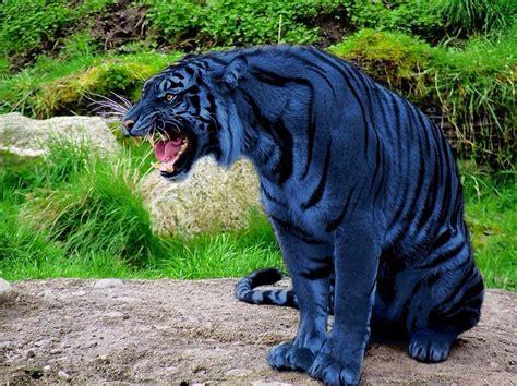 Blue Maltese Tiger Rare Animals Beautiful