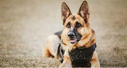 Dog Police Breeds Dogs Pets Petlifesa Working