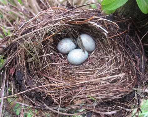 pictures of bird nests file bird s nest by path apr 2013 jpg wikimedia commons
