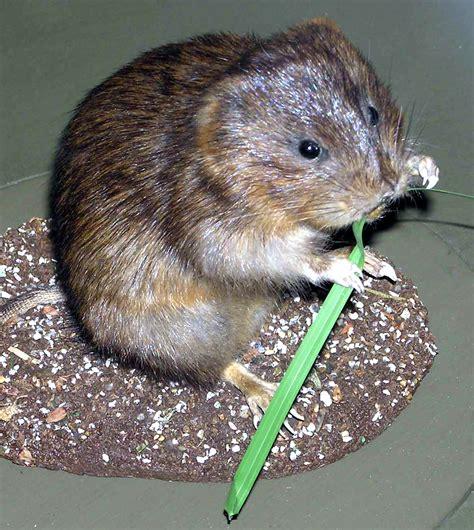 what is a vole file water vole arp jpg wikipedia