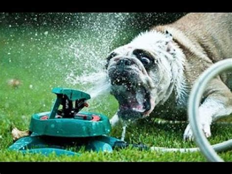 Dog Sprinkler Meme - funny dogs vs sprinklers compilation 2013 youtube