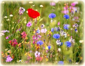 Wildflowers Native Wildflower Seeds Planting The Old