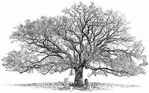 How to draw live oak tree