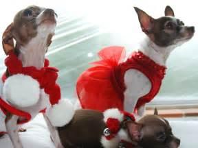 Cute Christmas Chihuahua Dogs
