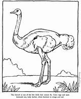 Ostrich Zoo Coloring Animals Animal Printable sketch template