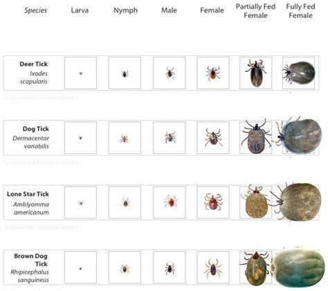 deer tick identification tick identification chart lyme warrior christina ticks tick