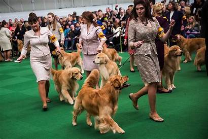 Dog Westminster Dogs Golden Retrievers Compete Canines