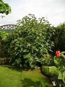 Feigenbaum Im Garten : feigenbaum wann und wie schneiden mein sch ner garten forum ~ Orissabook.com Haus und Dekorationen