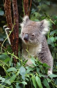 How Long Does a Koala Bear Live