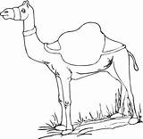 Camel Coloring Camels Pages Printable Drawing Desert Animal Bestcoloringpagesforkids sketch template