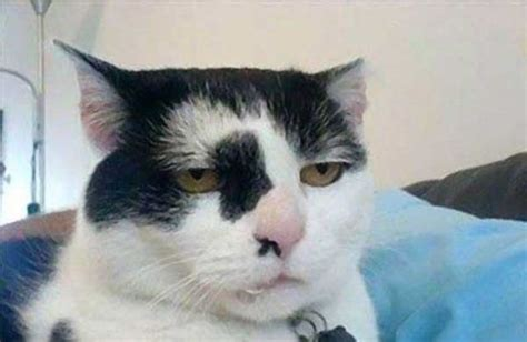 serious cat is not amused pictures of animals
