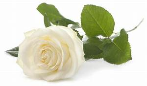 White Rose Pictures, Images, Graphics, Comments, Scraps ...