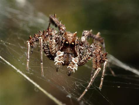 Pasaulē gudrākais zirneklis - Spoki