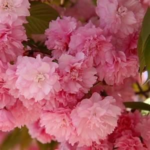 Arbres Fruitiers Nains En Pleine Terre : cerisier du japon 39 kanzan 39 plantes et jardins ~ Premium-room.com Idées de Décoration