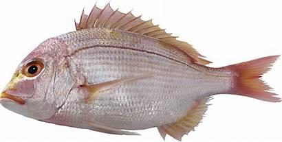 Fish Transparent Pescado Fishing Pngimg Starpng Descarga