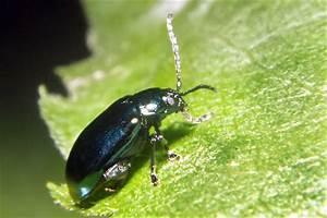 Insecte Qui Mange Le Bois : insectes qui mangent les jeunes pousses d 39 un ch ne vert ~ Farleysfitness.com Idées de Décoration