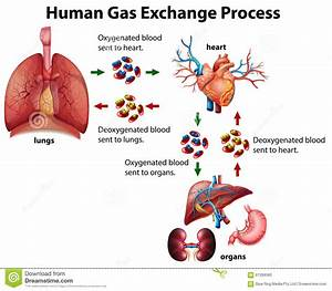 Human Gas Exchange Process Diagram Stock Vector